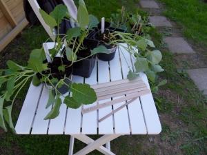 Kålplantor