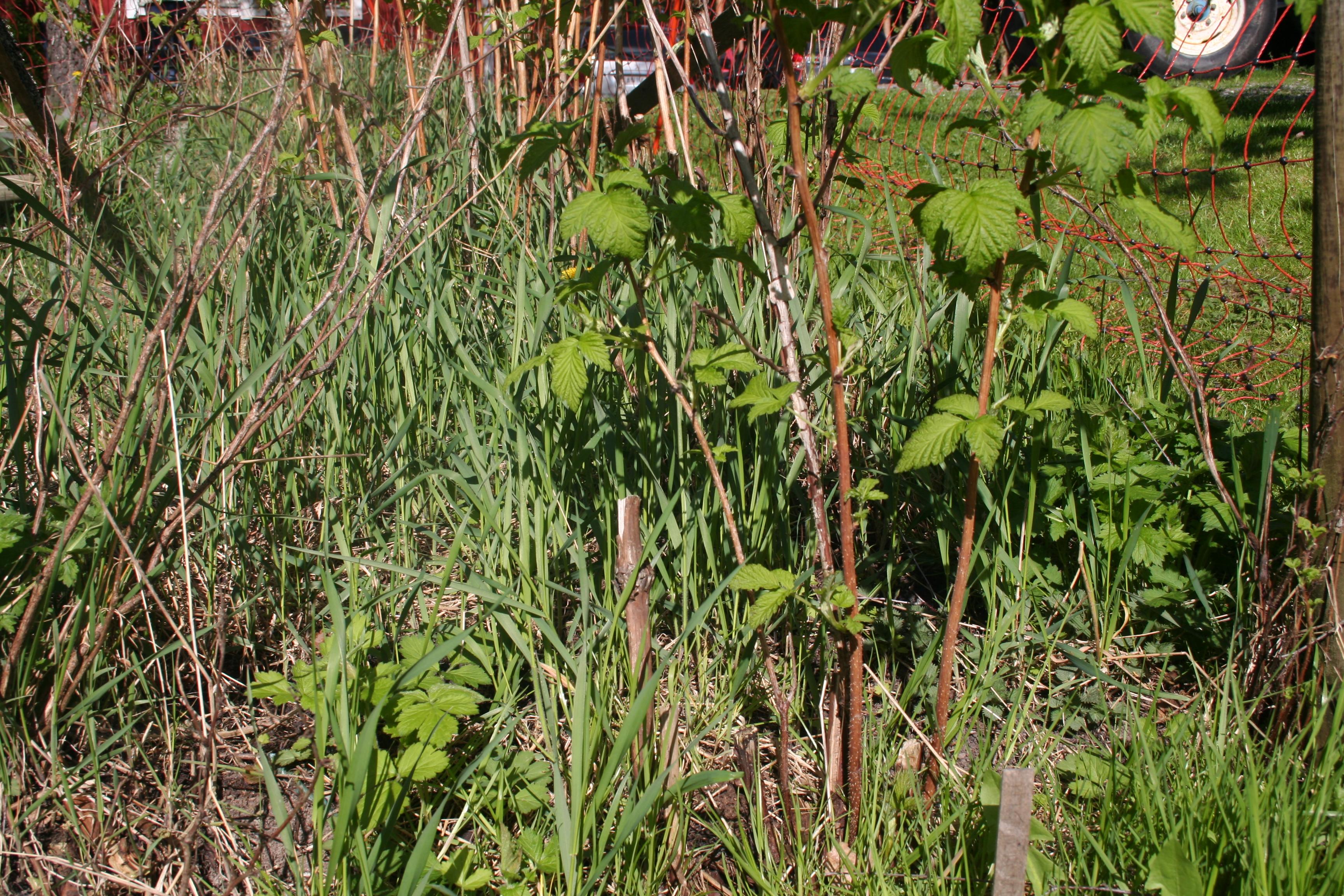 plantera hallon jord
