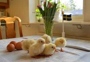 kyckling 4