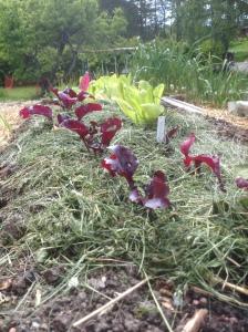Rödbetor och sallad planterad